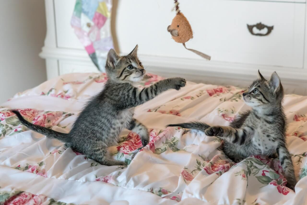 cats on bed playing